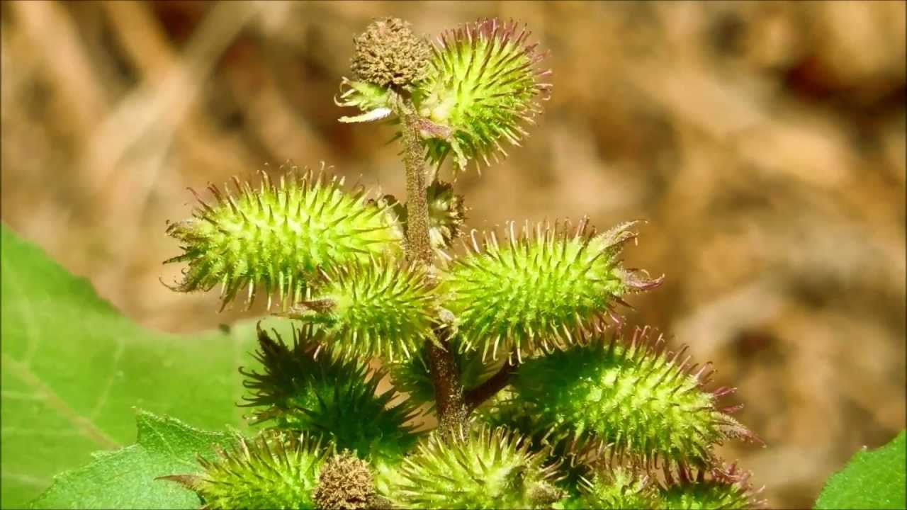 Common Cocklebur, Xanthium strumarium, San Diego, California - YouTube