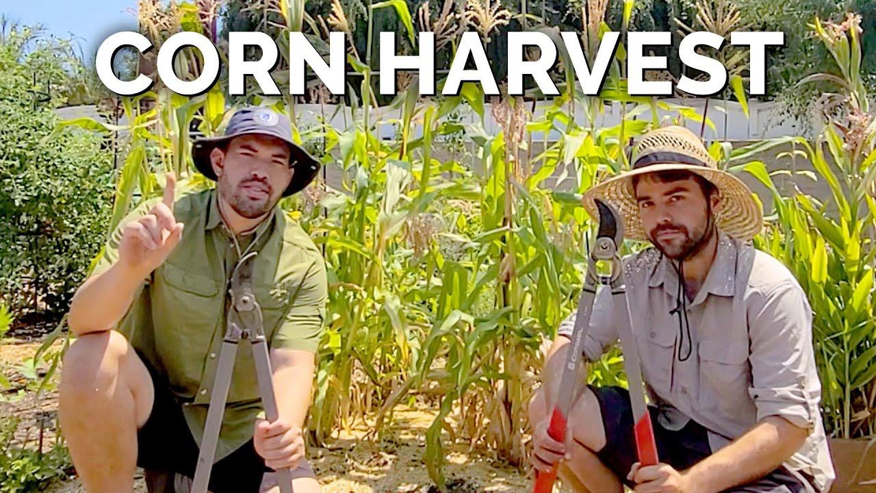 Chopping Down The Corn Field!?
