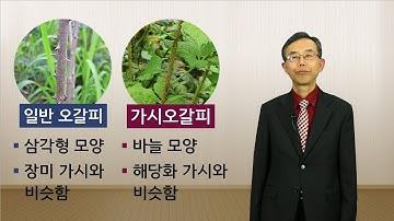 건강차 추천 가시오갈피차(오가피차)_원광디지털대학교 한방건강학과 김규열 교수