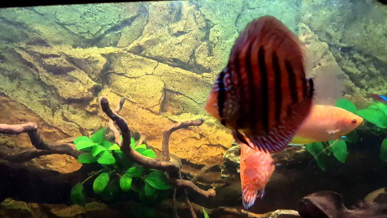 Juwel rio 240 aquarium fish tank - Juwel Rio 240 Fish Tank Discus Rainbow Clown Loach Gourami Beta Neon Tetra Cory Cats Barbs