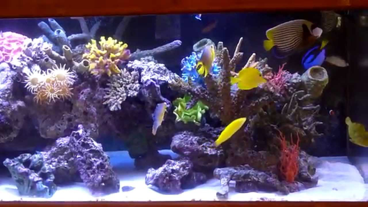 wide 100 gallons saltwater aquarium leopard filefish