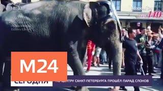 По центру Санкт-Петербурга прошел парад слонов - Москва 24<
