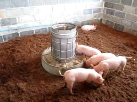 Oderless pig pen Phangnga  Thailand   YouTubeOderless pig pen Phangnga  Thailand