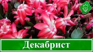 видео Цветок декабрист, уход в домашних условиях, фото цветков декабриста