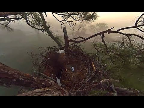 SWFL Eagles ~ M Sees Both Eggs & Rolls Them First Time 11.20.18