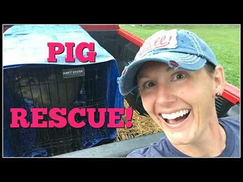 Saving Pigs & Homesteaders~