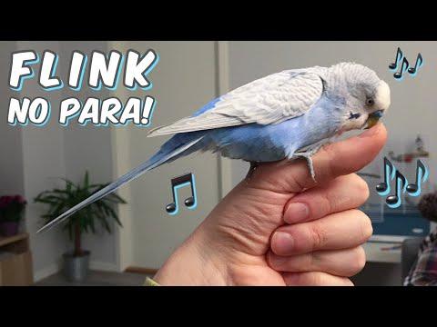 Mi Periquito Flink Cantando Sin Parar! (feat. Paquito & Kira)