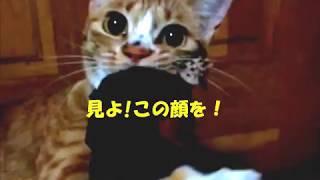 飼い猫が野生に豹変した瞬間のあの顔が怖い!! thumbnail