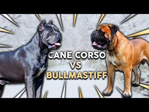 CANE CORSO vs BULLMASTIFF! What's The Best Family Guard Dog?