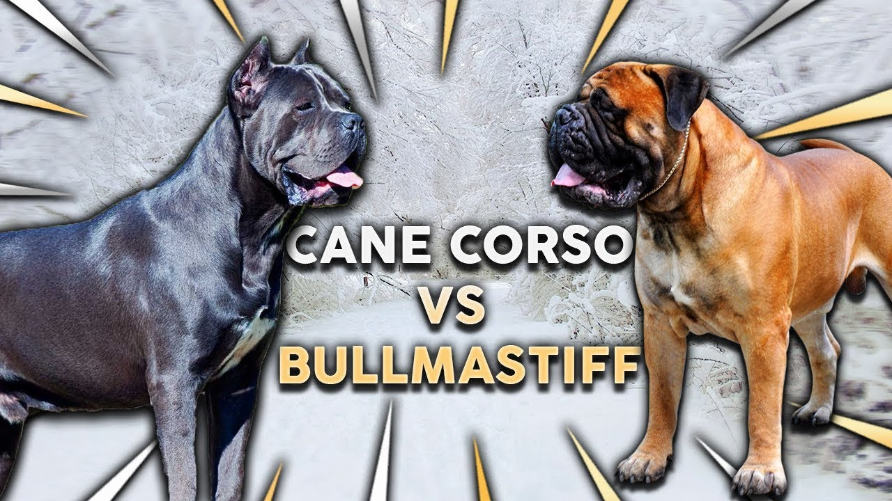 Cane Corso Vs Bullmastiff What S The