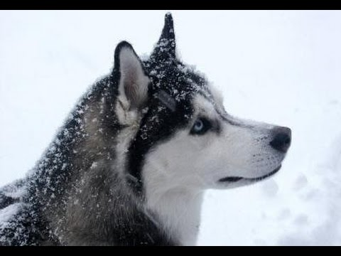 Siberian Husky: Informations about the Breed