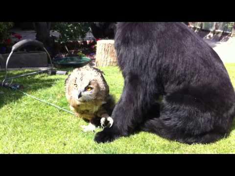Newfoundland Dog with Eagle Owl