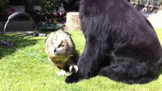 Newfoundland Dog with Eagle Owl