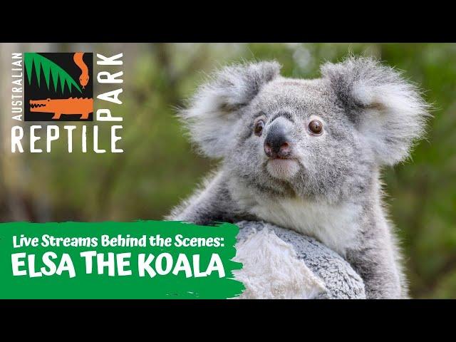 LIVE WITH ELSA THE KOALA   AUSTRALIAN REPTILE PARK