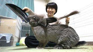 Giant Rabbit Interrupts Cleaning! (5 Ways) 掃除を邪魔するフレミッシュジャイアントうさぎ