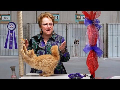 CFA World Show 2014, Rachel Anger shorthair kitten final