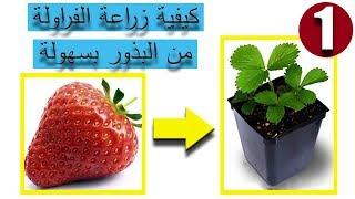 كيفية زراعة الفراولة من البذور بسهولة - الجزء الأول