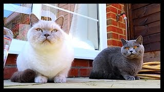 BRITISH SHORTHAIR IN THE SUNSHINE! | CHRIS & EVE