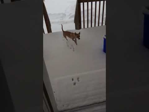 Don Action Jackson - You Think YOU Hate The Snow? Check Out This little Chihuahua...