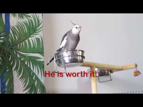 Thinking about getting a Cockatiel? … better see this before!