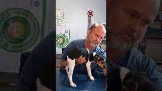 Tipos de caudas do Terrier Brasileiro