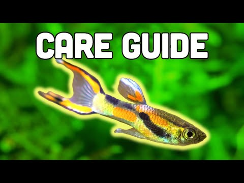 Endler's Livebearer Care Guide - Easiest Livebearer For Beginners
