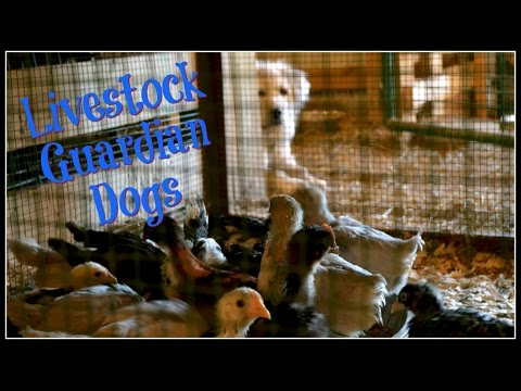 Livestock Guardian Dogs~Seriously-Do You Really Need One?