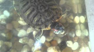 Turtle Feeding Francy - 2 Fishes Vs. 1 Turtle