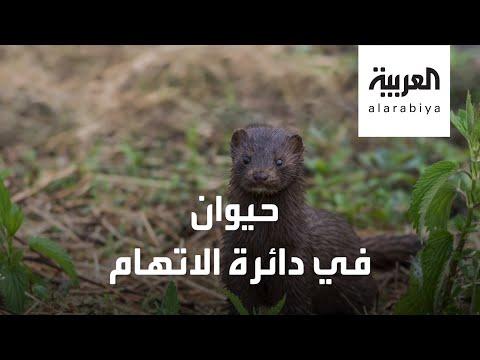 حيوان المنك في دائرة الاتهام.. والسبب كورونا!  - نشر قبل 4 ساعة