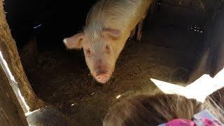 Свинья напала на девочку /куры/лошадь и аист