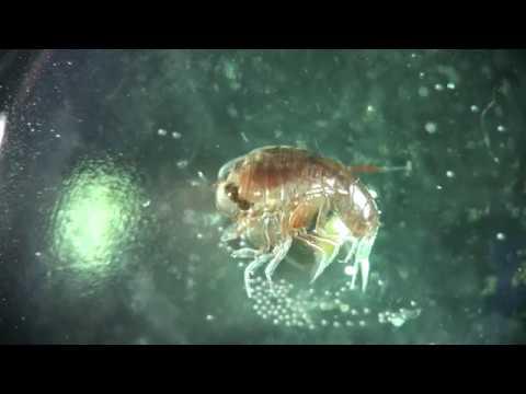 hyperiid Amphipoda
