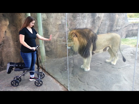 ORIGINAL VIDEO | This Lion Really Wants Her Scooter