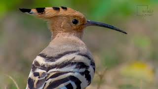 Hoopoe   The hoopoe is a genus of ground-foraging birds with a massive head crest
