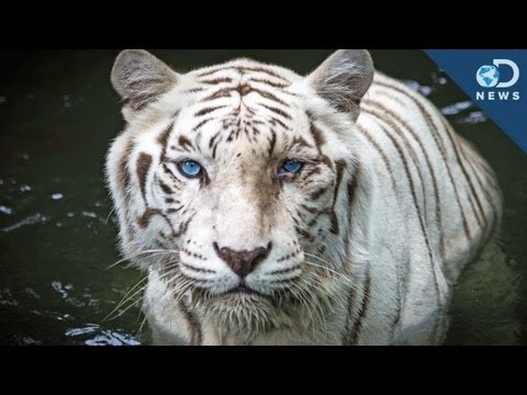 How A Genetic Mistake Can Save White Tigers