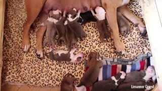 American Staffordshire Terrier puppies, 2 days old / Щенки Американского стаффордширского терьера,