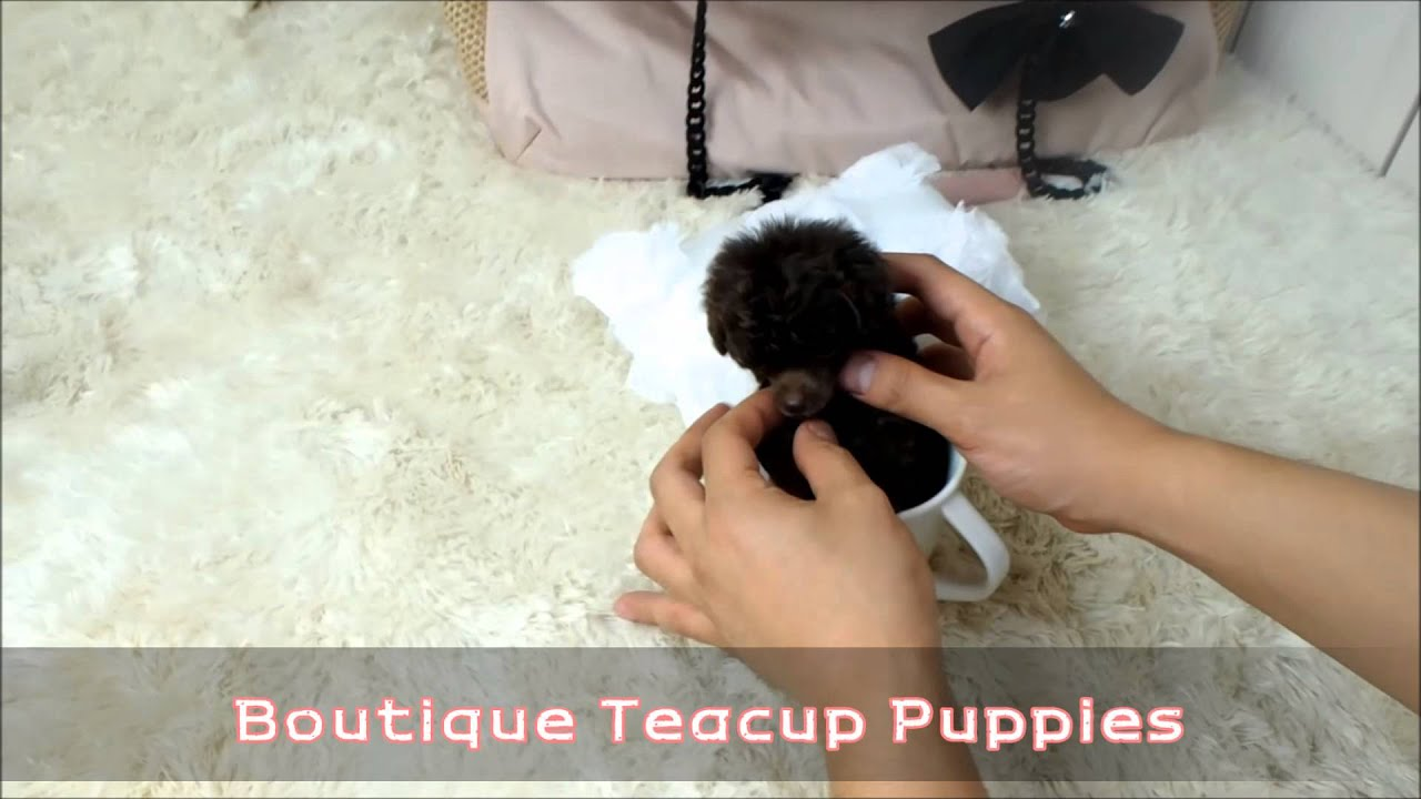 Adorable Miss Truffles Amazing Micro Chocolate Poodle Youtube