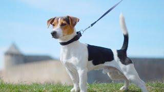 Порода собак Джек-рассел-терьер
