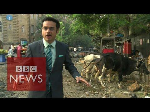 Blooper Alert! Time to moo've away? BBC News