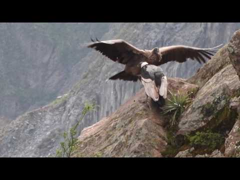 Condors of Colca Canyon, Peru April 8, 2016