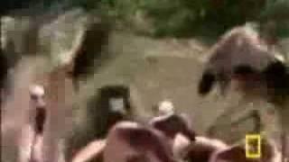 baboon eats flamingos