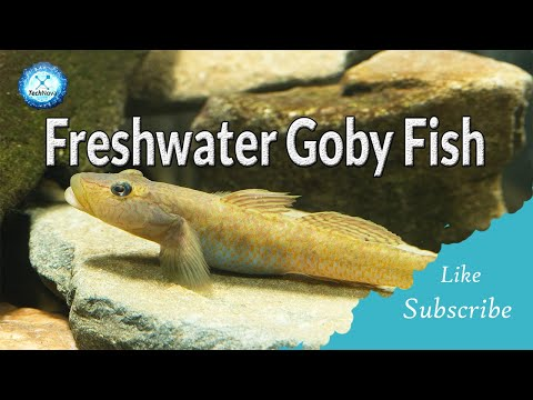 8 Types Of Freshwater Gobies