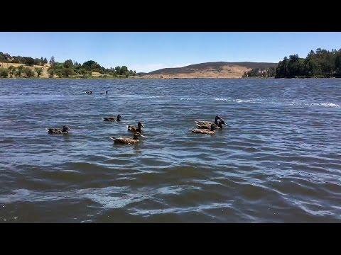 download Herding Ducks!