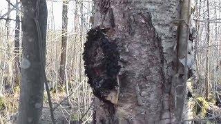 видео Березовый гриб (чага)