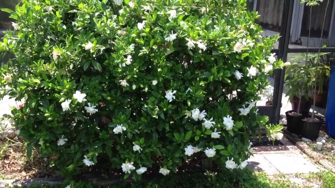 Gardenia bush sweet smelling flowers youtube youtube premium mightylinksfo