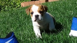 3/4 English Bulldog X 1/4 Beagle - Mixed Puppies Available In San Diego