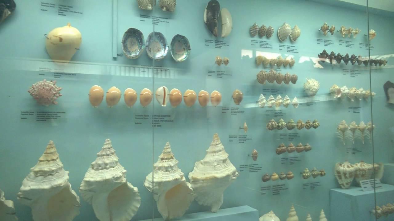 Shell Exhibition Mahabalipuram : Sea shell museum mahabalipuram tamil nadu india youtube