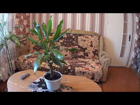 драцена уход в домашних условиях фото размножение