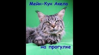 Кот Мейн-Кун гуляет.