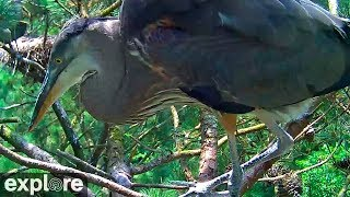 Chesapeake Conservancy Great Blue Herons powered by EXPLORE.org thumbnail
