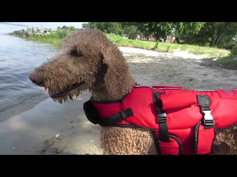 STANDARD POODLE LOVES THE BEACH!!! (7 4 15) - YouTube